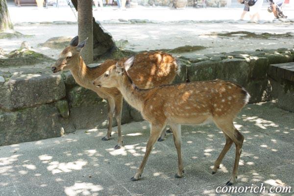 広島・宮島のシカ