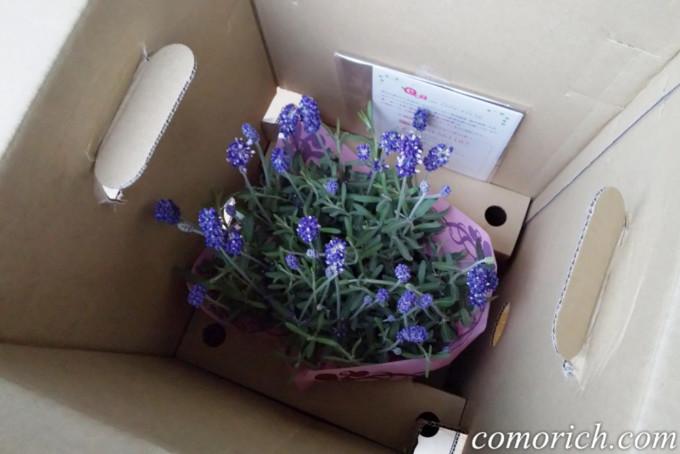 フラワーギフトのe87.cm(イイハナ・ドットコム) ラベンダーの鉢植え